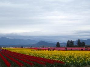 Tulip Festival Skagit Valley, WA