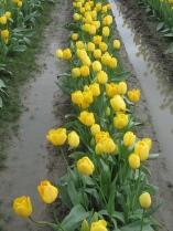 Last Year's Tulip Festival in Bellingham